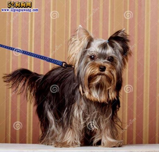 约克夏狗狗