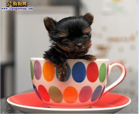 约克夏茶杯犬