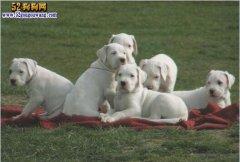 【杜高犬价格】阿根廷杜高犬多少钱一只?