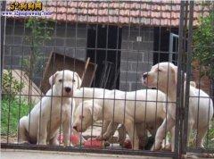 江苏南京杜高犬价格 阿根廷杜高犬多少钱一只?