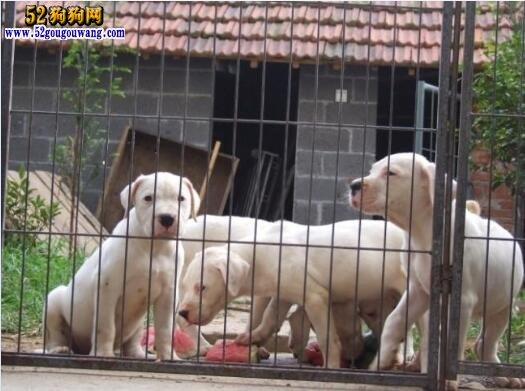 江苏南京杜高犬价格