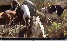 【杜高犬打野猪视频】