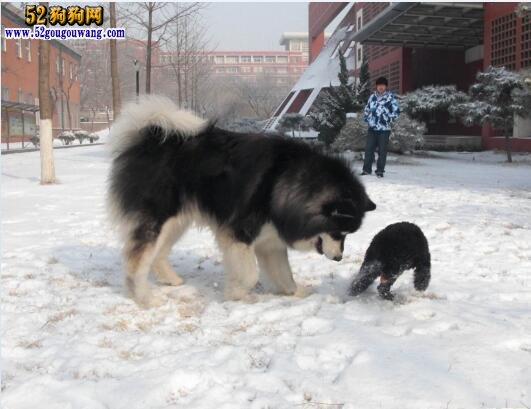 阿拉斯加犬怎么养