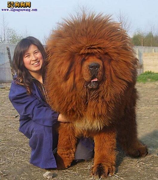 巨型藏獒犬图片_最大的藏獒有多大 世界上最大的藏獒-藏獒-52狗狗网
