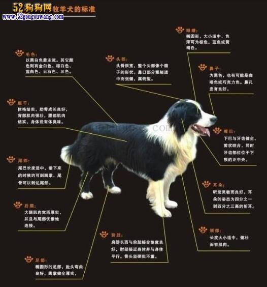 边境牧羊犬AKC标准