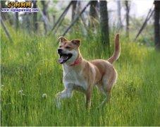 中华田园犬标准