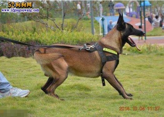 马犬(比利时马林诺斯犬)AKC标准