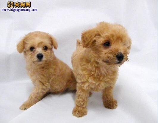 刚出生的巨型泰迪_贵宾犬的价格_贵宾犬幼犬价格_贵宾犬价格_巨型贵宾犬的价格