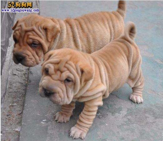 小沙皮狗多少钱