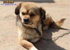 纯种中华田园犬