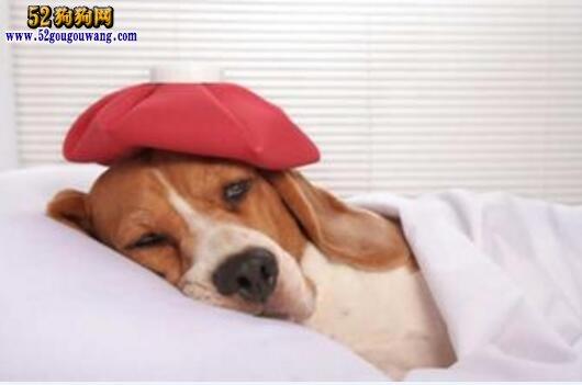 宠物狗感冒了怎么办