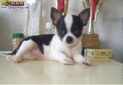 吉娃娃出售 出售吉娃娃幼犬