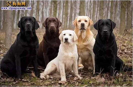 拉布拉多颜色 哪种拉布拉多犬颜色好