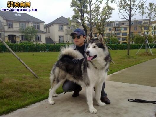 夏季阿拉斯加犬饲养问题