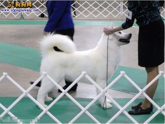 白色阿拉斯加雪橇犬图片1