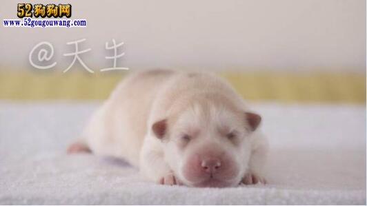 白色阿拉斯加雪橇犬图片2