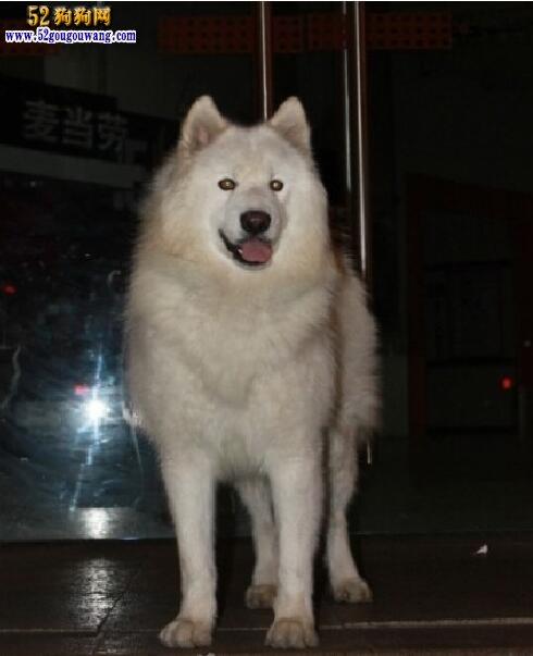 白色阿拉斯加雪橇犬图片4