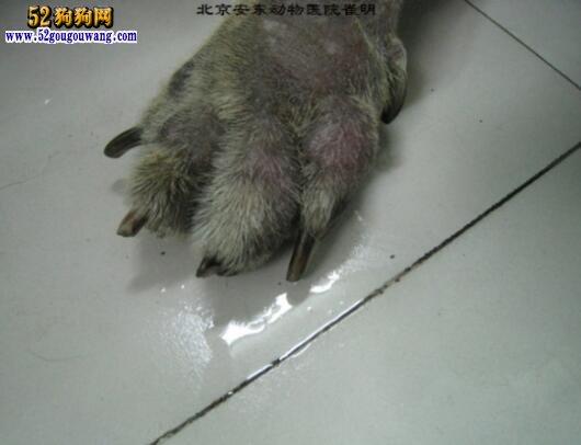 皮肤病种类_德国牧羊犬皮肤病 德牧皮肤病种类及防治方法
