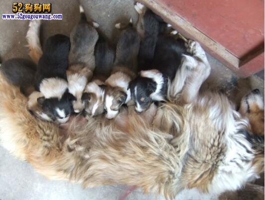 苏牧幼崽 如何喂养苏牧幼犬