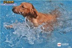 夏日热浪来袭:宠物狗狗游泳避暑