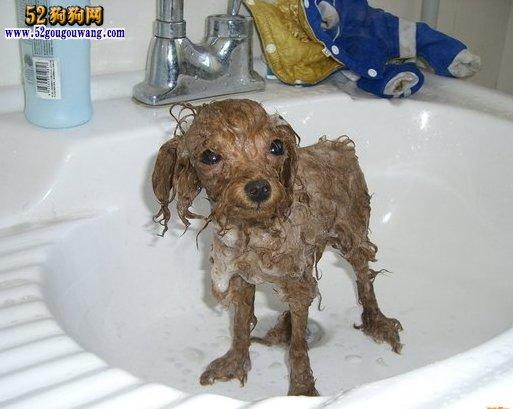 给泰迪犬正确的洗澡方法