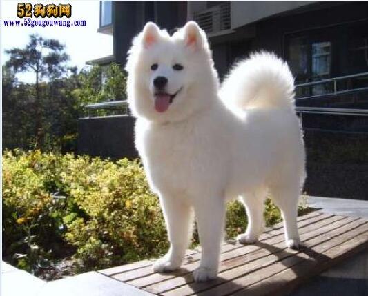 大萨摩耶 大萨摩耶犬日常饲养管理