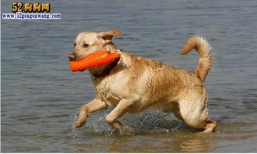 怎样训练拉布拉多犬