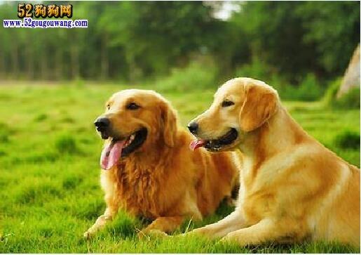 拉布拉多犬和金毛犬