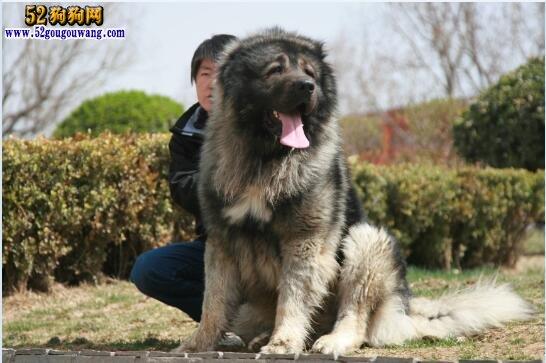 高加索犬有多大