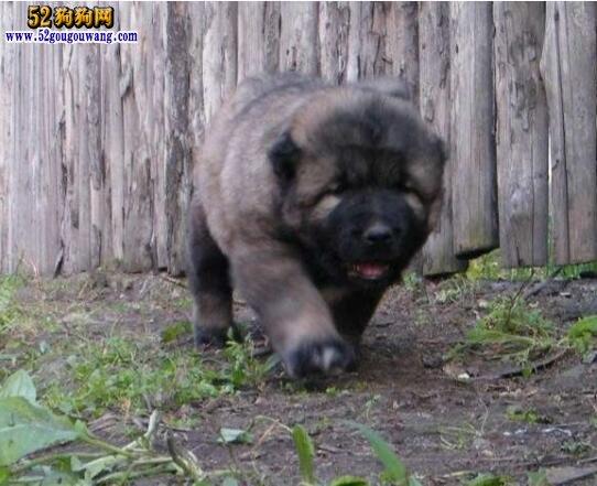 高加索犬幼犬饲养及价格行情