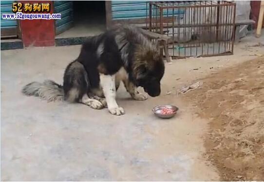 高加索犬喂养 高加索犬科学饲养方法
