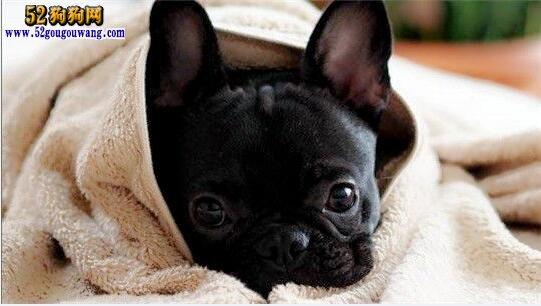 猫猫打狗狗_黑色法国斗牛犬 纯黑色法国斗牛犬价格图片-法国斗牛犬-52狗狗网
