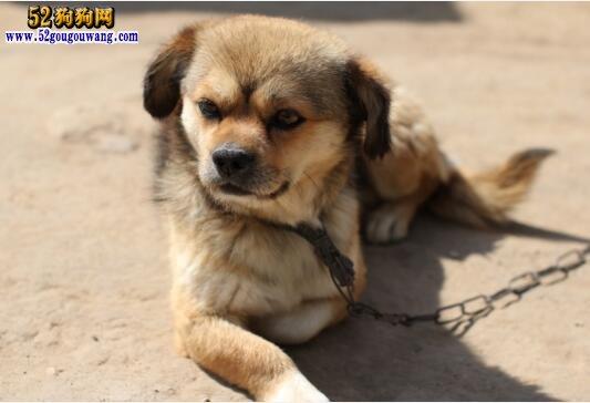 中华田园犬价格 买一条中华田园犬小狗咬多少钱?