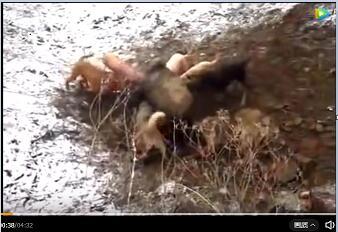 猎犬VS野猪:几百斤野猪闯入村庄被猎犬围住 结果野猪弱爆了!