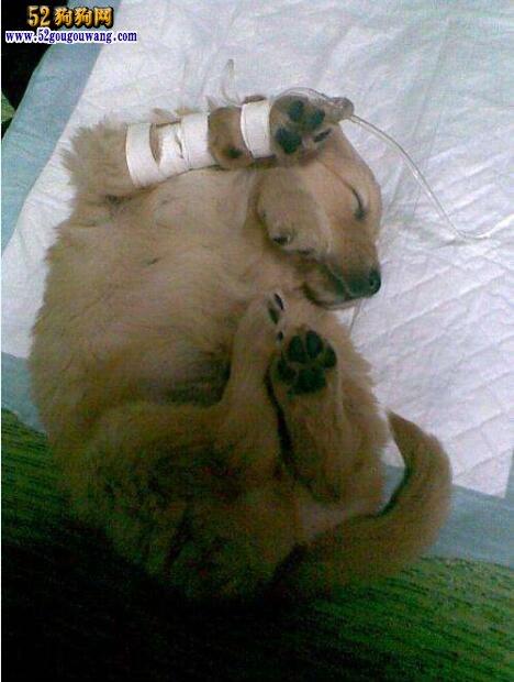 狗狗肠炎:宠物狗得了肠炎怎么治?