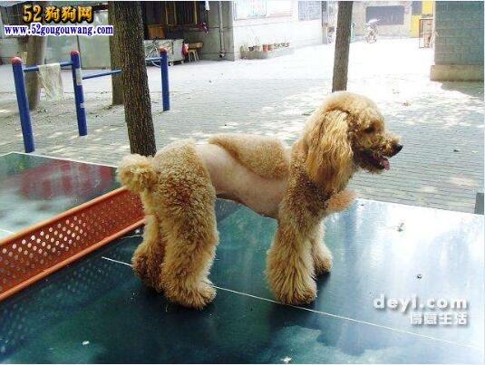 泰迪犬夏季毛发护理事项