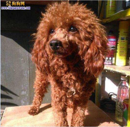 泰迪犬美毛宝典 怎么让泰迪犬被毛长的更好