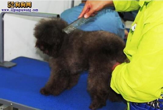 家庭给泰迪熊犬美容步骤