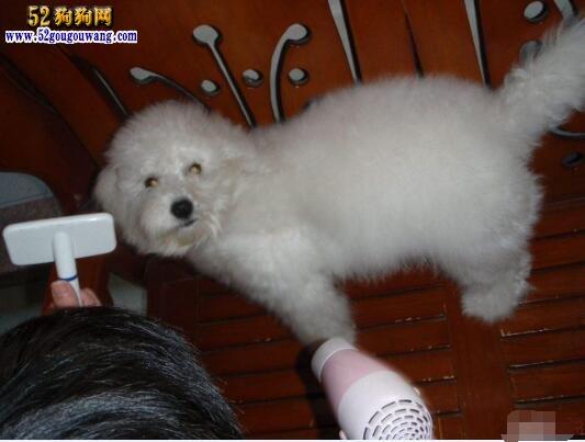 比熊犬的梳理犬毛 比熊犬被毛梳理步骤