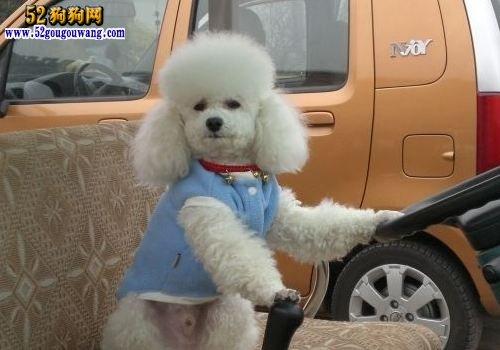 贵宾犬的性格特征