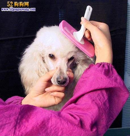 贵宾犬日常梳理被毛方法