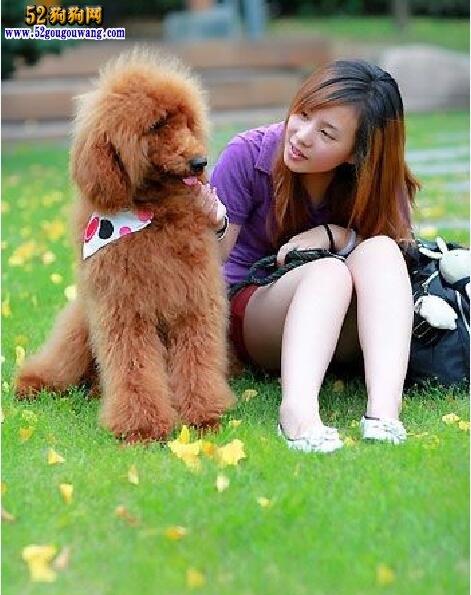 贵宾犬常见疾病种类及防治方法
