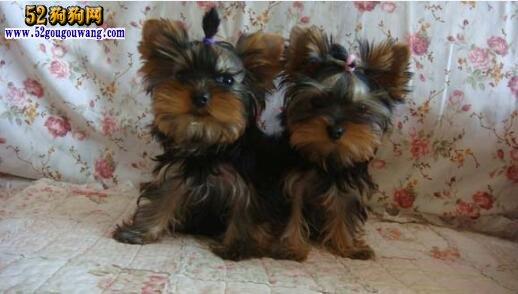 约克夏犬的繁殖与配种