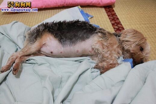 约克夏母犬孕期怎么照顾