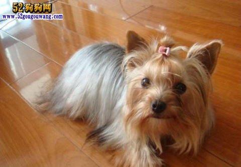约克夏犬常见疾病预防与治疗