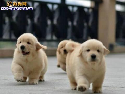 金毛犬的饲养方法