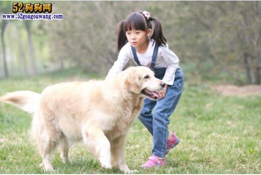 金毛犬的优点与缺点分析