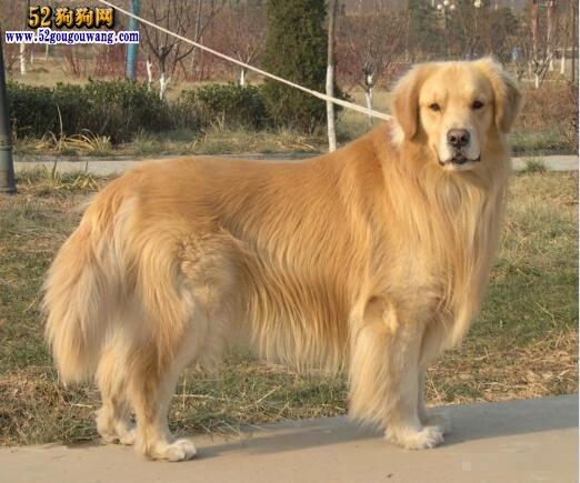 金毛犬被毛梳理养护