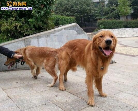 金毛犬的繁殖与配种知识