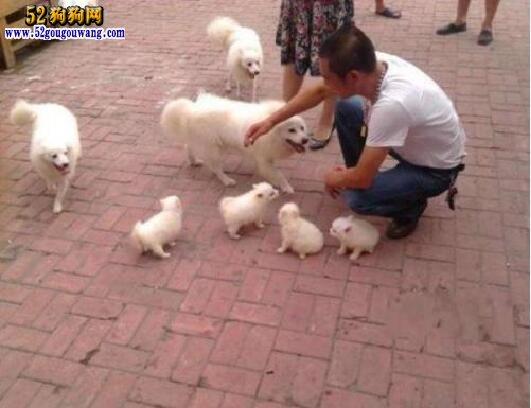 博美犬繁殖选种、配种、孕期饲养大全
